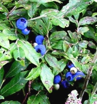 20050729-Blueberries