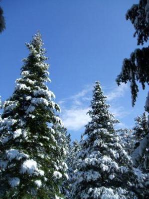 Balsam Treetops Sunny Morning After Snowstorm