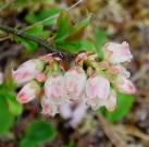 balsamean-blueberry-flowers-may-2012.jpg