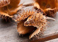 beech nut pod dry and opened on its own