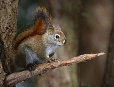 Red Squirrel photo by Simon Pierre Barrette