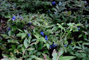 phs1 Blueberries 20050729