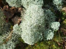 Cladonia stellaris lichen