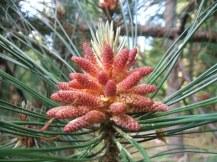 phss2-m pine flower