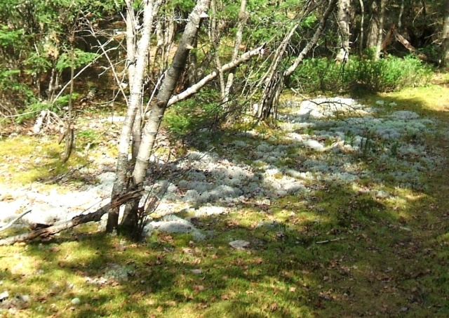 Small forest opening near northeast corner of Aranyaka Maze containing lichens I believe are Cladonia stellaris and Cladonia rangiferina.  It is otherwise covered with moss, surrounded by Balsam Fir, Gray Birch and White Pine trees.