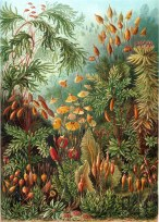 Ernest Haeckel (Muscinae)