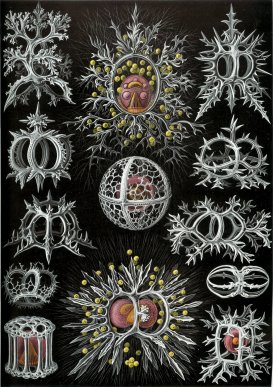 haeckel_stephoidea