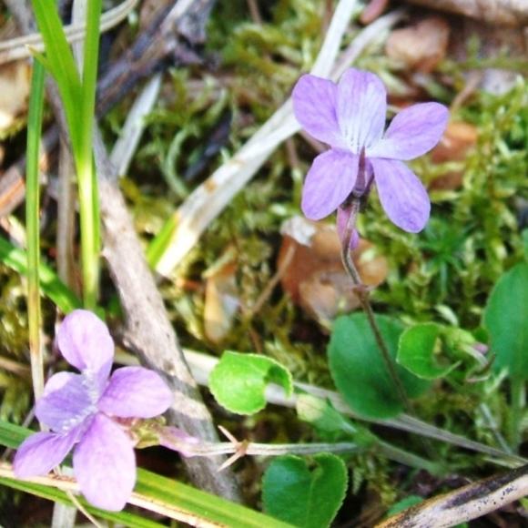 20120512 Balsamea Wildflowers - Violets 1