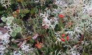 20130415 Cladonia Cristatella 04