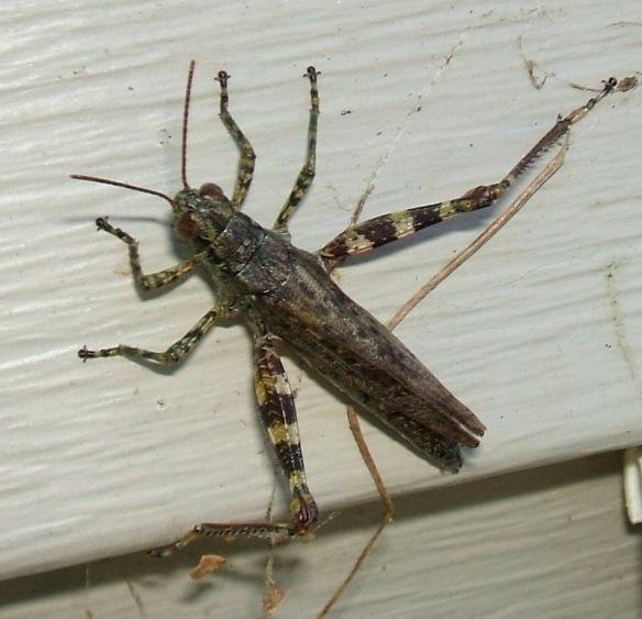 20130918 Locust 3