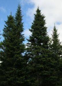 Balsam_Fir_Trees_20050904_small