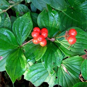 Bunchberry fruit