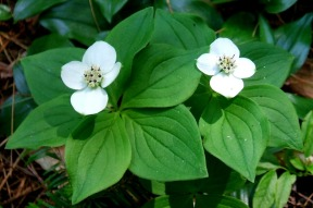 Bunchberry flowers