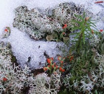 Cladonia cristatella lichen and a tiny balsam seedling emerging from Spring snow