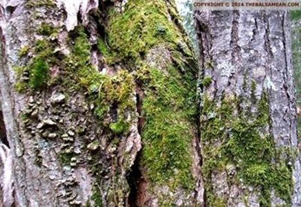 pitys tree set 3a txt