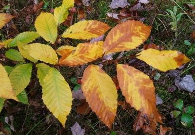 Beech 29 Low leaves 1 575x401