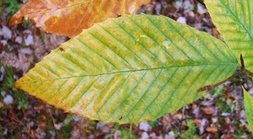 Beech 30 Single Wet Autumn Leaf 575x317