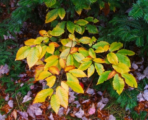 Beech 31 Low leaves 2 575x466