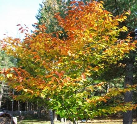 Beech 33 Schmoe's Junk Tree 515x464