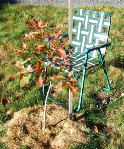 By October 9 of the same year, Defiant Oak proved itself victorious again over adversity (with the help of some slight pruning and grass clippings), offering a happy autumn color display. A happy tree is a happy me. The chair is my yearly measuring stick. Later, something bigger.