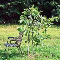 Front Yard Oak 20150819