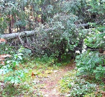 02 Maplegate Square 717 Blowdown E side -Orig Trail-600px