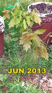 Defiant Oak 20130617-txt-167x300