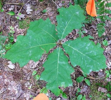 OT3B-01 Buddy Oak Orig Loc 15H23a-600px