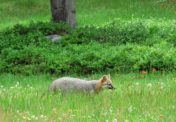 Fox in Yard 20210619 002 post 400pxH