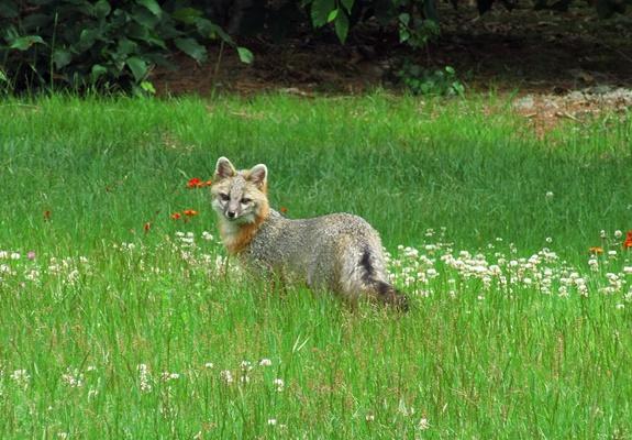 Fox in Yard 20210619 003 post 400pxH
