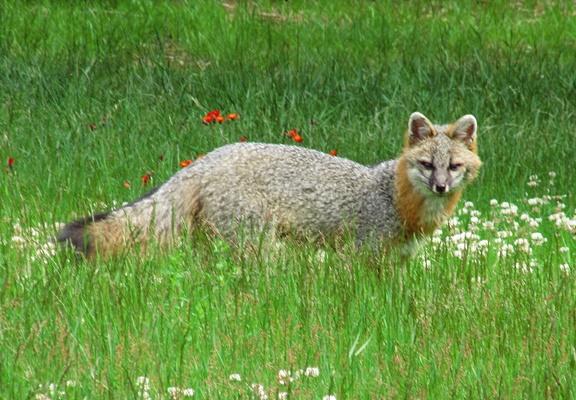 Fox in Yard 20210619 004 post 400pxH