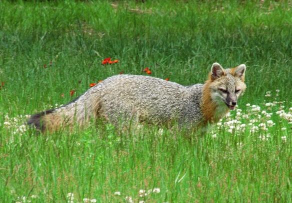 Fox in Yard 20210619 005 publish 1kpxH