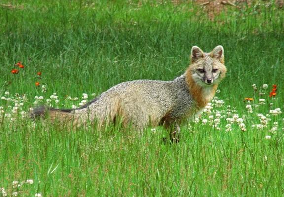 Fox in Yard 20210619 006 post 400pxH
